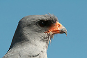 A close-up portrait of a southern pale Chanting Goshawk, Melierax canorus.