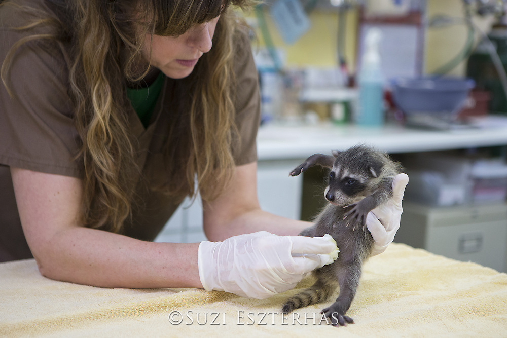 Raccoon <br /> Procyon lotor<br /> Volunteer, Shelly Ross, cleaning four-week-old orphaned baby at wildlife rehabilitation center<br /> WildCare, San Rafael, CA<br /> *Model release available