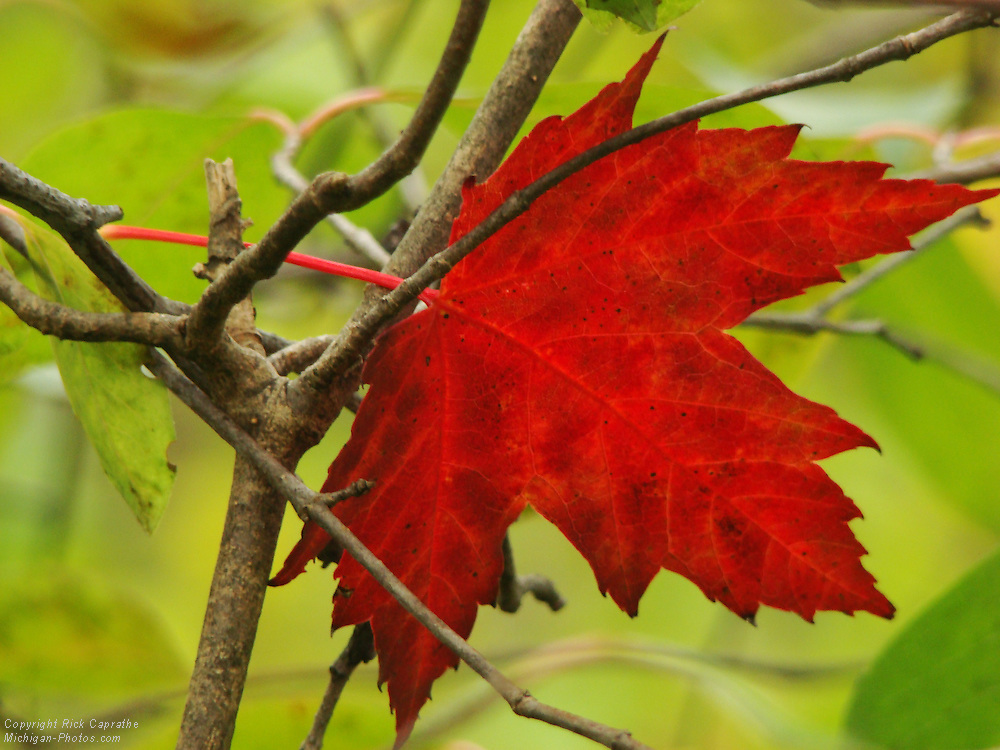 Red Maple Leaf Intertwined