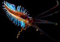 Polychaeta.undescribed swimming polychaetes                       .Celebes Sea