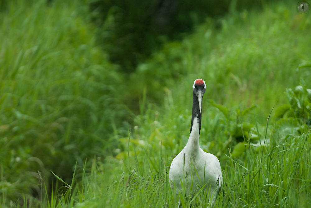 A red-crowned crane in the summer at the rehabilitation centre in Kushiro, Japan.