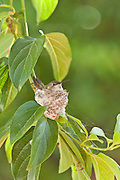 female Costa's hummingbird sitting on one-day old nest and eggs