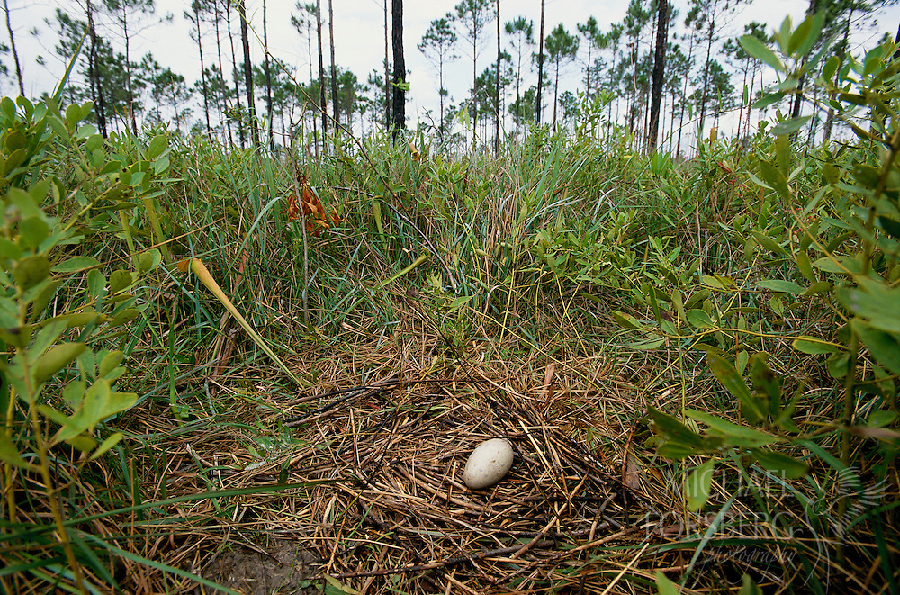 A single egg lies on a secluded Mississippi sandhill crane nest in the wet pine savanna. Mississippi Sandhill Crane National Wildlife Refuge, Mississippi.