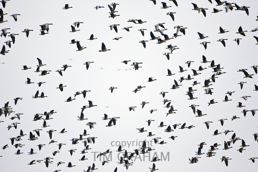 Pink-footed Geese migration, Holkham, Norfolk. Migrating birds could risk Avian Flu (Bird Flu Virus)