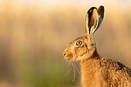 European Hare (Lepus europaeus) adult, close up of head, South Norfolk, UK. July