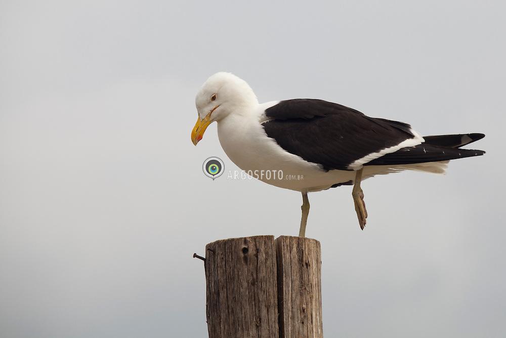 As gaivotas sao aves marinhas da familia Laridae e sub-ordem Lari / Gulls (often informally called seagulls) are birds in the family Laridae.