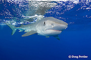 tiger shark, Galeocerdo cuvier, with remora or sharksucker under chin, North Shore, Oahu, Hawaii, USA ( Central Pacific Ocean )