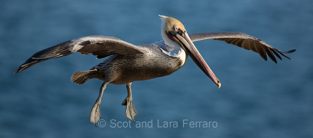 A California Brown Pelican prepares to land on the La Jolla Cliffs.