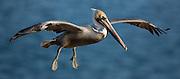 A California Brown Pelican prepares to land on the La Jolla Cliffs.