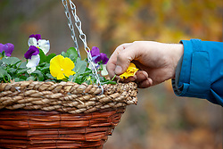 Deadheading winter flowering pansies in a hanging basket