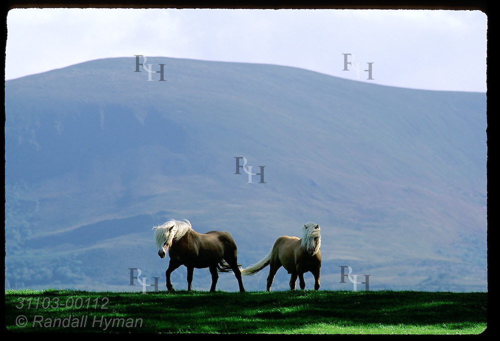 Pair of Haflinger horses appear over ridge framed by Shehy Mountain looming behind in Killarney National Park, Ireland.