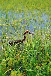 Reddish Egret (Egretta rufescens) in wetlands