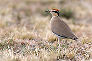 Temminck's courser (Cursorius temminckii) from Maasai Mara, Kenya.