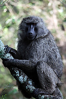 baboon sittin on a tree of the forest in the beautiful reserve of masai mara in kenya africa