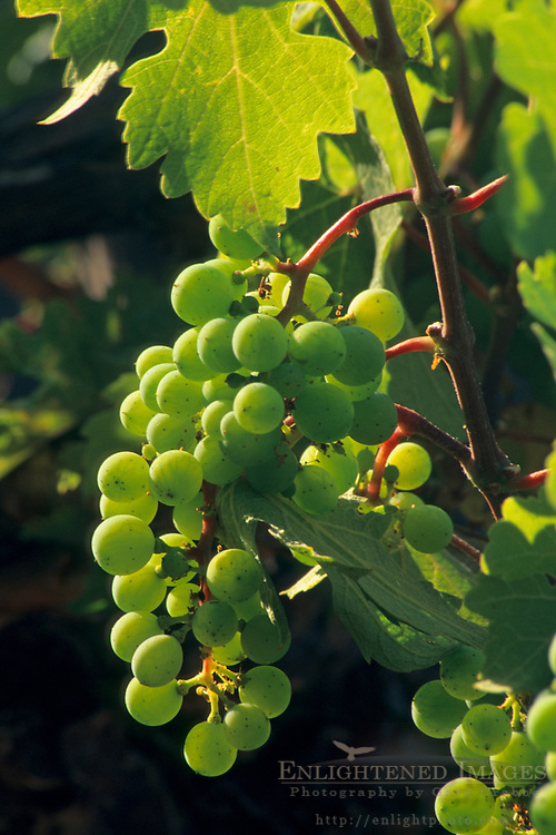 Wine grapes on the vine at Galante Vineyards, above Carmel Valley, Monterey County, California