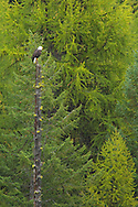Bald Eagle (haliaeetus leucocephalus) perched in tree watching for prey, Glacier National Park, Montana