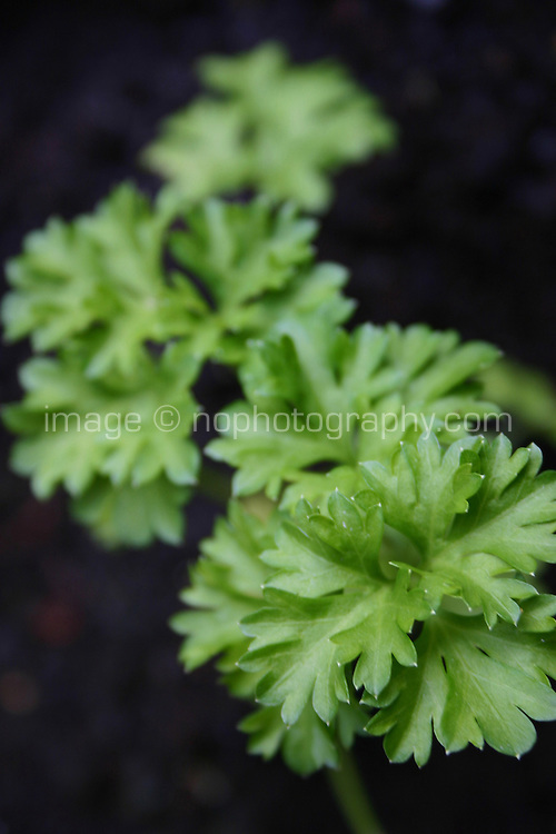 Parsley plant<br />