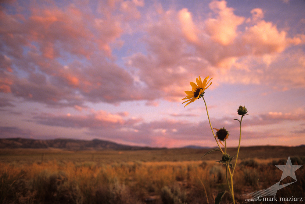 field at sunset with wildflower in Central Utah, UT