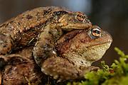Common toad (Bufo bufo) traveling back to breeding pond | Erkröten-Paar (Bufo bufo) auf der Wanderung zum Laichgewässer
