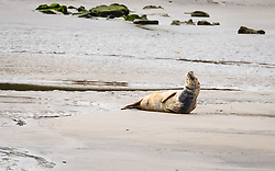 © Licensed to London News Pictures. 14/09/2018. London, UK.  A seal relaxes in the autumn sunshine on the bank of the River Thames near Greenwich at low tide today.  Seals are now common in the Thames Estuary but are less frequently seen up river. Photo credit: Vickie Flores/LNP