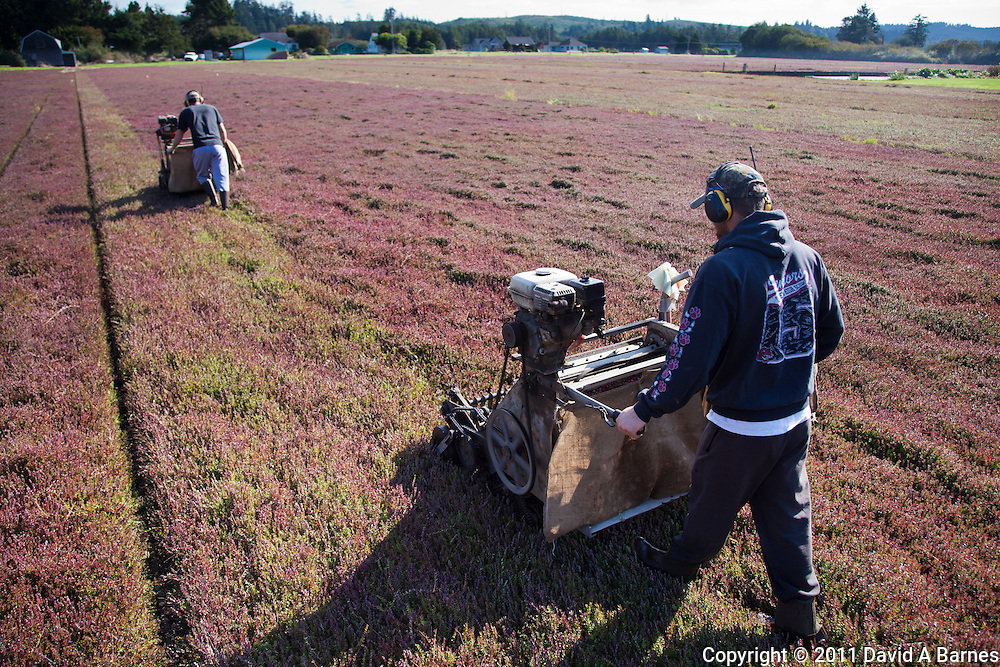 Men operating a cranberry harvesting machines.