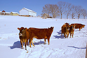 Winter Snow, Farm and Steers, Berks Co. PA