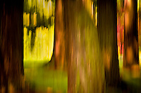 Impressionistic tree abstract, blurred in camera.