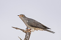 African Cuckoo, Kgalagadi Transfrontier Park, Northern Cape, South Africa