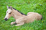 Young cute foal in a meadow in County Clare, West of Ireland