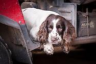 Spaniel resting in farm buggy