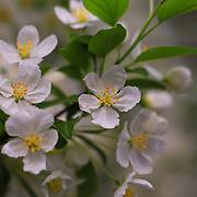 """Apple Blossom Beauty"""