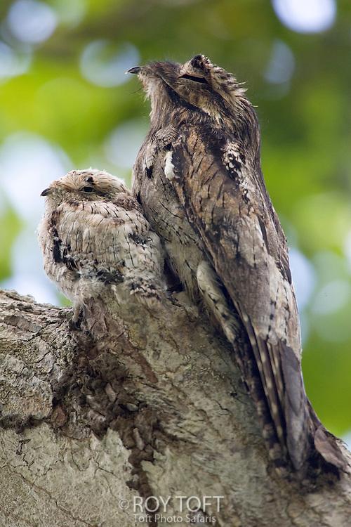 Adult and juvenile Common Potoo, Osa Peninsula, Costa Rica