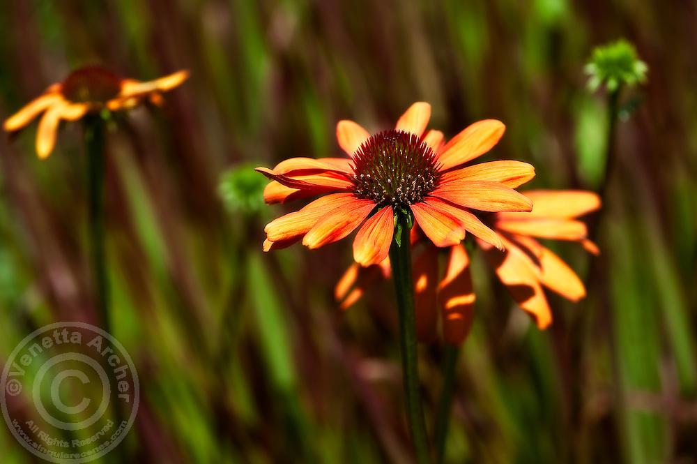New blooms of Echinacea 'Art's Pride'