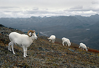 Four Dall Sheep Rams (Ovis dalli) above Denali Park Road; Denali National Park; Primrose Ridge; Alaska