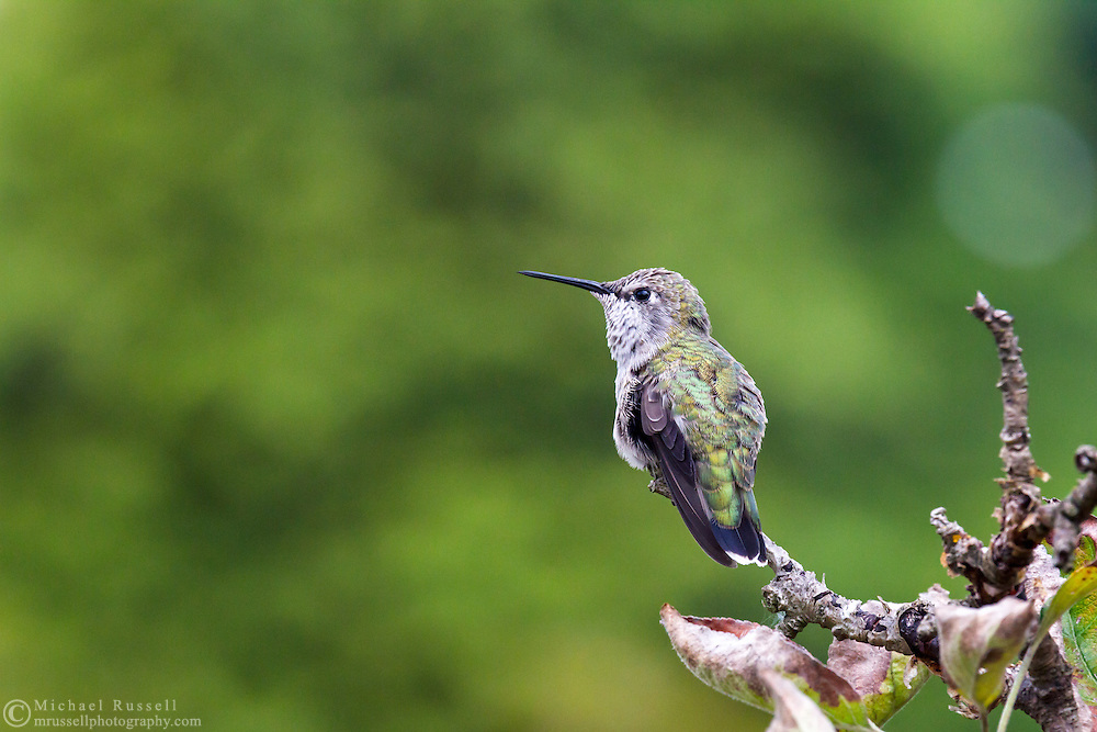 A Female Anna's Hummingbird (Calypte anna) keeping an eye out for danger. This is most likely a female Annas but it could be a juvenile.   Photographed during the summer in the Fraser Valley of British Columbia, Canada.