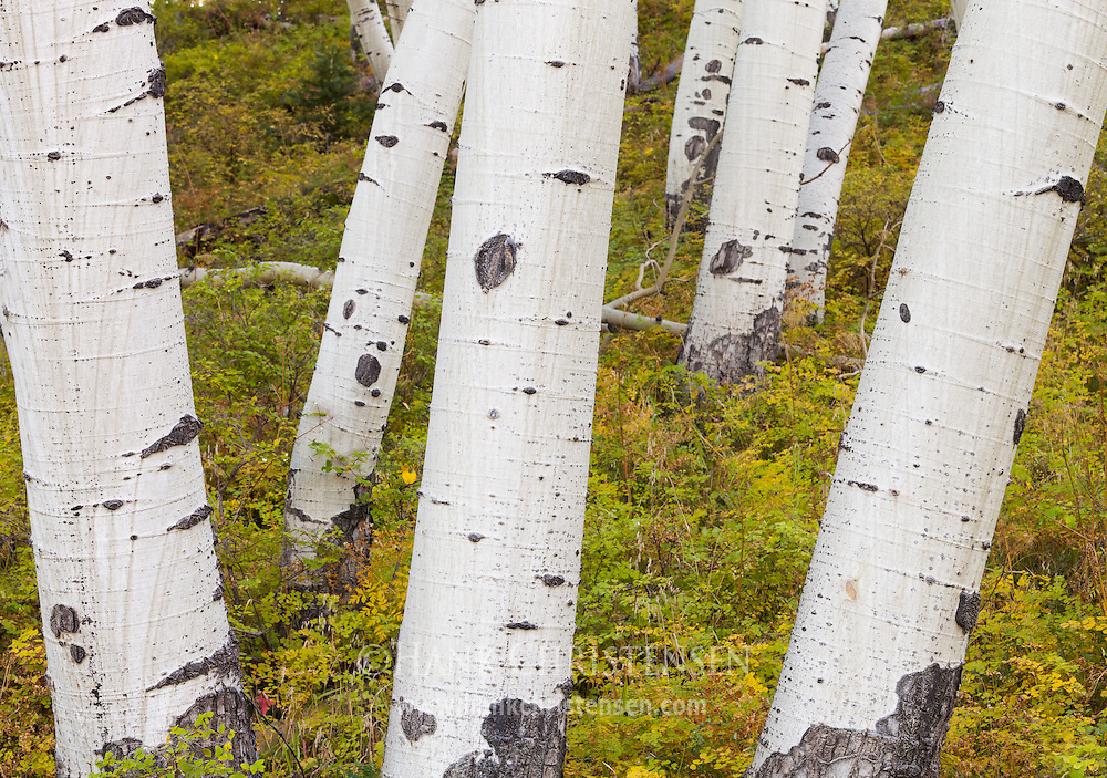 Aspen trunks jut from the earth at odd angles