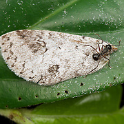 Meranoplus sp. ant.