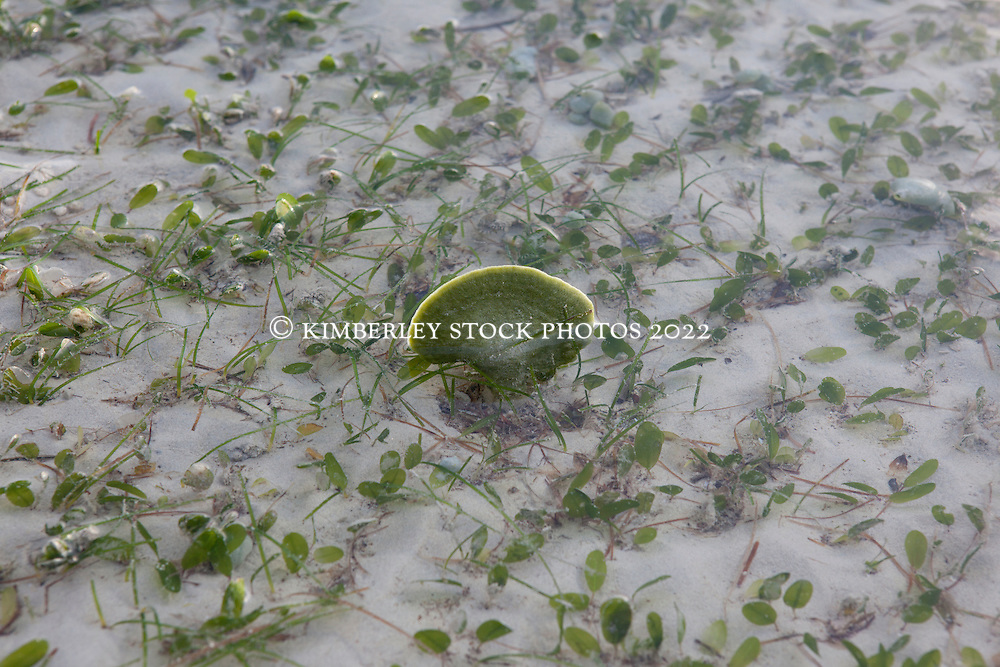 A single green sponge exposed on Broome's Town Beach mud flats on a low spring tide.