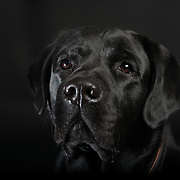 Fine Art portret Labrador retriever