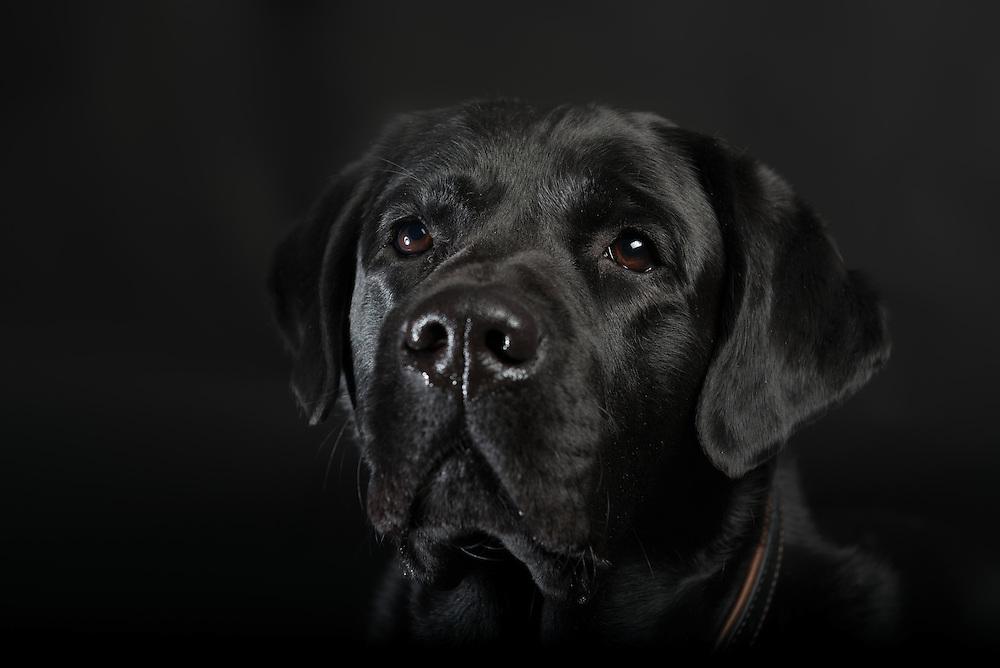 Fine Art portret Labrador retriever