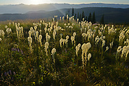 Beargrass at sunrise at Grizzly Peak in summer. Grizzly Peak Roadless Area in the Kootenai National Forest, Purcell Mountains, northwest Montana.