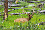 Elk or wapiti (Cervus canadensis) in meadow<br />Banff National Park<br />Alberta<br />Canada