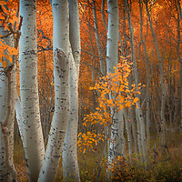 Intimate view of aspen trees in the eastern Sierra region of California.