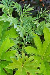 Foliage association of Tetrapanax papyrifer and Melianthus major