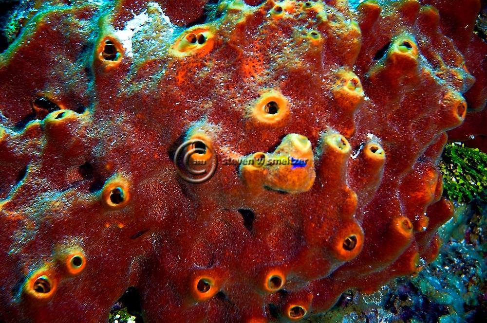 Brown Encrusting Octopus Sponge, Ectyoplasia ferox, No Name Wall, Grand Cayman