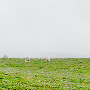 Sheep graze on the lush grass on a plateau in Snowdownia, Wales.