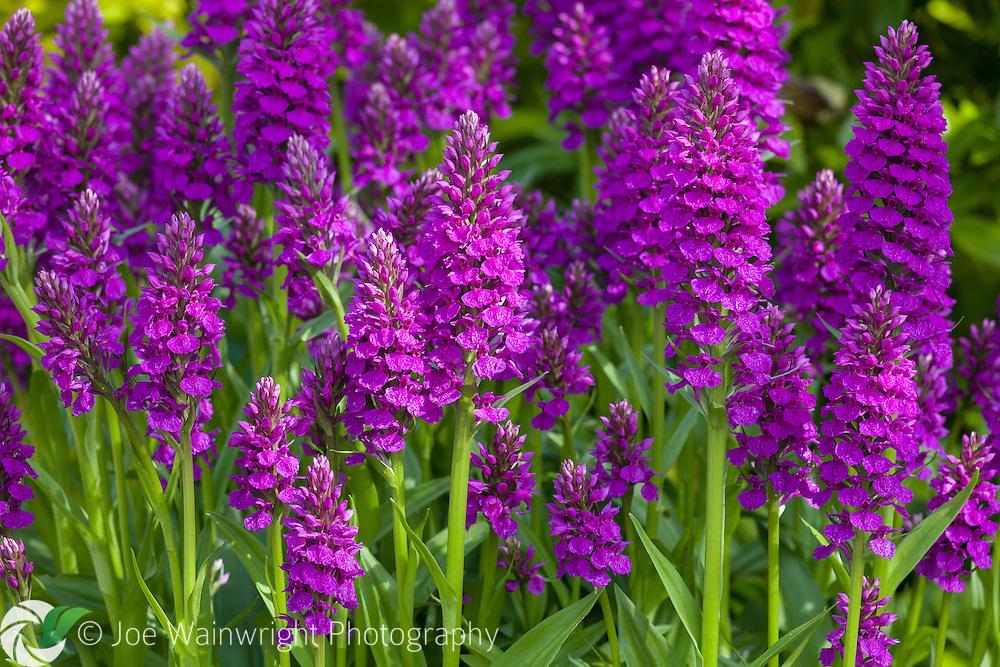 Dactylorhiza folosa, or Medeiran Orchid, flowering in an English garden in June.