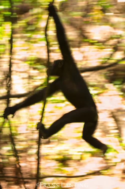 Chimpanzee swinging through trees, Pan troglodytes verus, Fongoli, Senegal