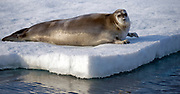 Bearded Seal (Erignathus barbatus) from 81 degrees north off Svalbard in July 2012.