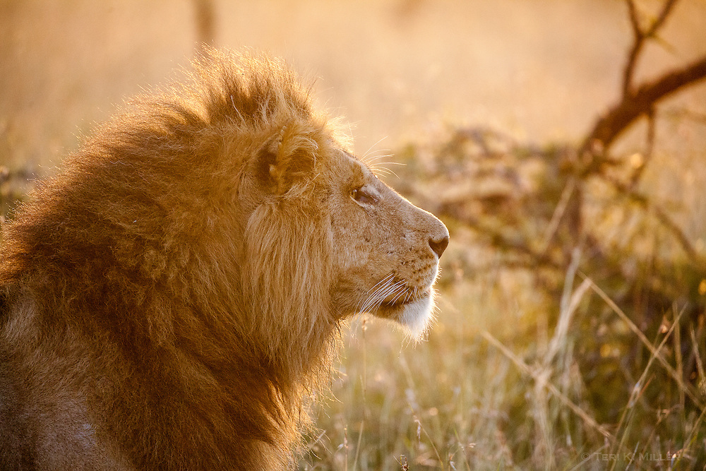 Lion in Masai Mara, Kenya.